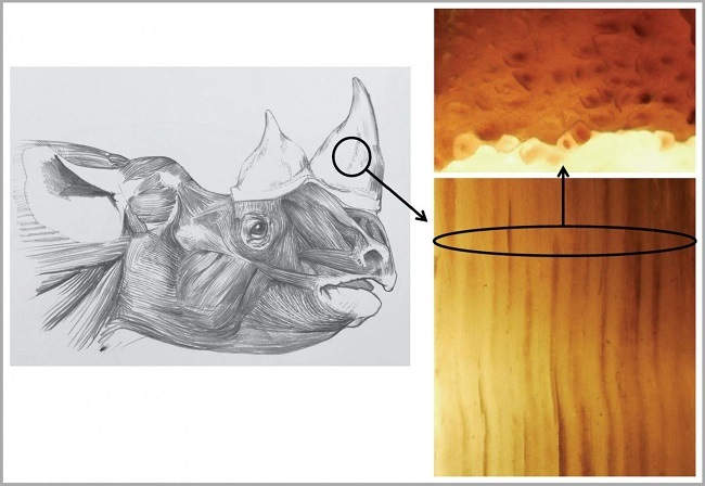 A pencil sketch of a rhino on the left and a comparison of fibres of the real and fake rhino horns.