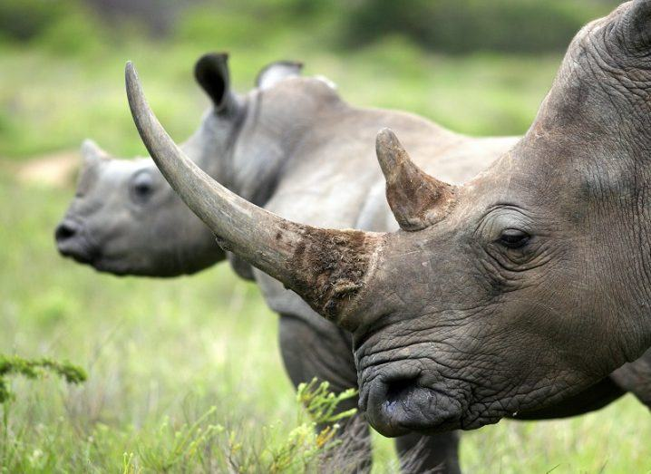 A close-up of a female rhino and her calf in a green, grassy area.