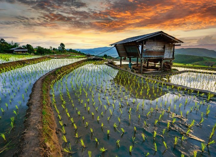 A rice field with a wooden building against a dusk sky.