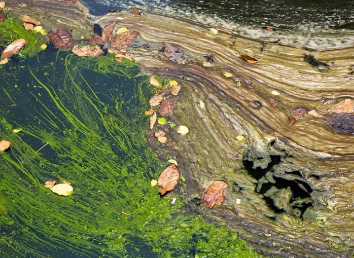 Green algae and pollution on the surface of water.