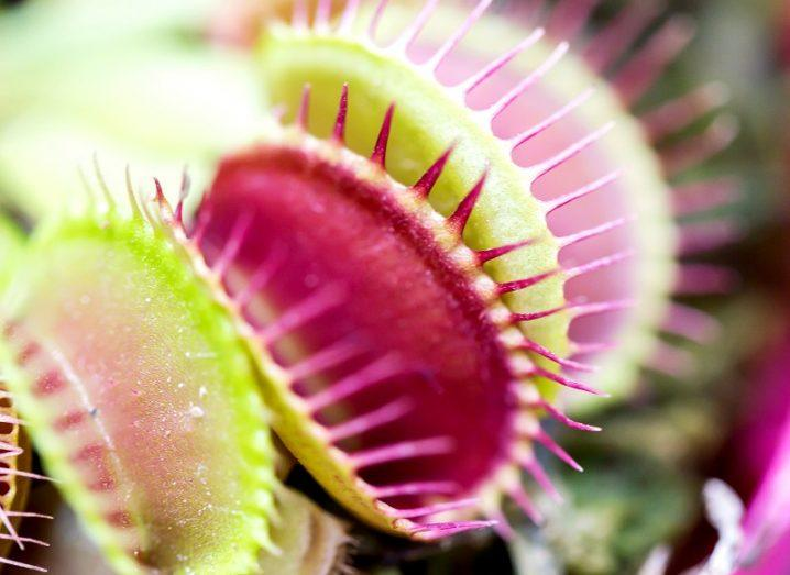 Close up of Venus flytraps opening their mouths, coloured green and purple.