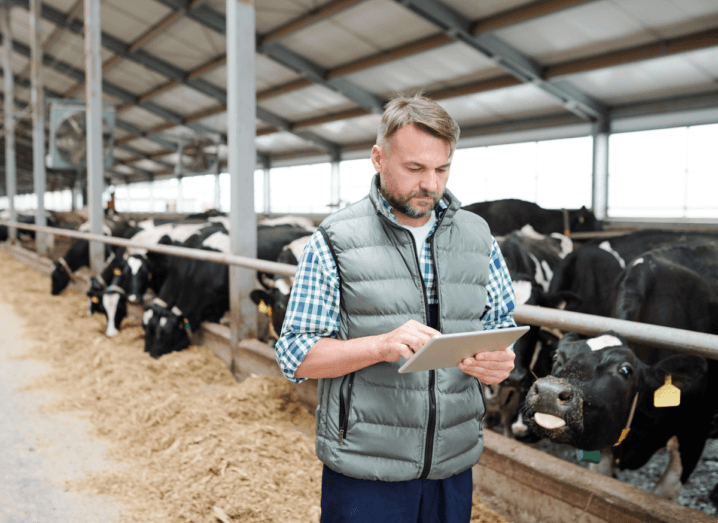 A farmer using some kind of agritech software on an iPad while standing beside cows in a large shed. The farmer is wearing a blue gilet and a green shirt with blue jeans. He has grey hair and a beard. The cows are black with white patches on them and yellow tags in their ears.