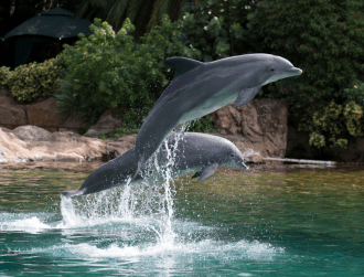 Scientists believe most bottlenose dolphins are 'right-handed'