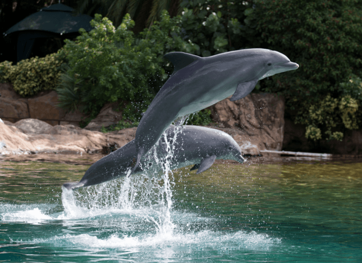 Two dolphins jumping out of the water in an enclosure. There are rocks and trees around the water.