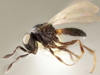 Newly discovered parasitic species of wasp named after Idris Elba