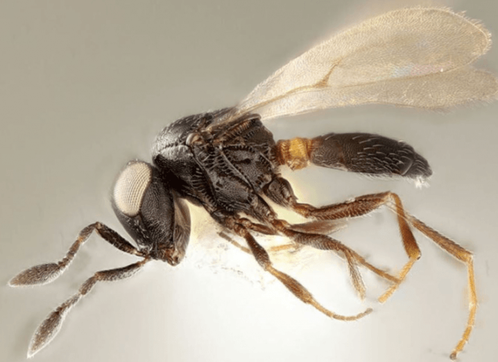 A photograph of a black wasp with clear wings and long legs.