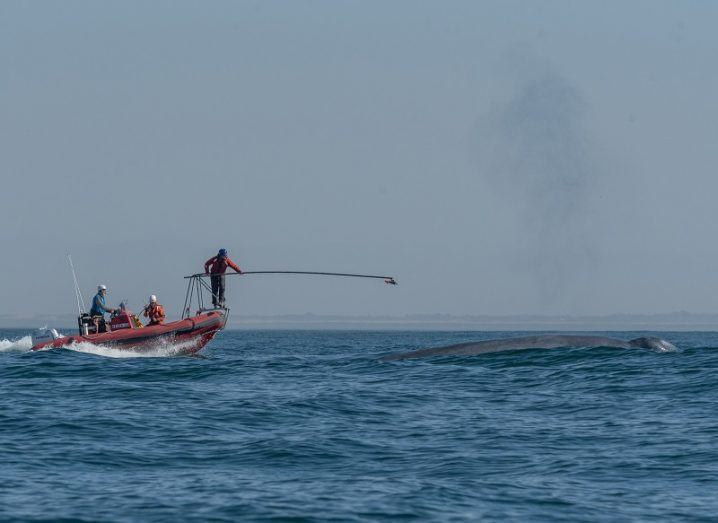 Scientists in a small boat with an extension road sticking the heart monitor to the surfacing blue whale.