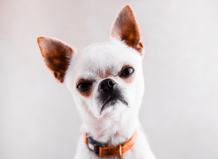 A very unimpressed looking chihuahua stares into the camera in front of a beige background.
