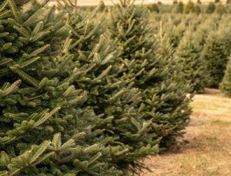Christmas trees under threat from new mould discovered in a lab