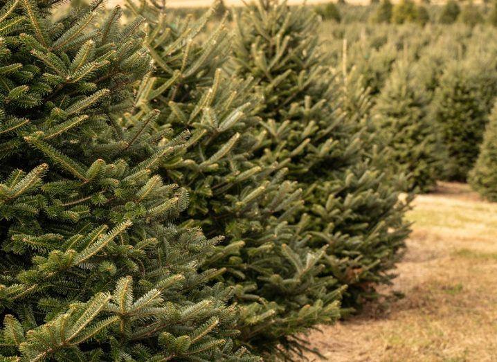 Rows of Christmas trees on a farm.