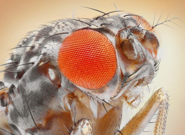 Close-up of a fruit fly's face with orange eyes against a beige background.