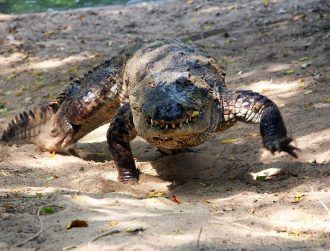 There are more galloping crocodiles than we thought, clocking speeds of 18kph