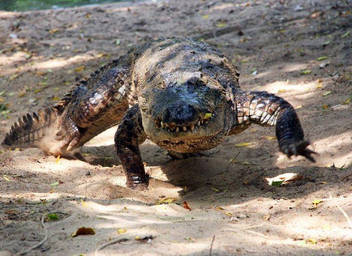 A crocodile galloping on dusty ground.