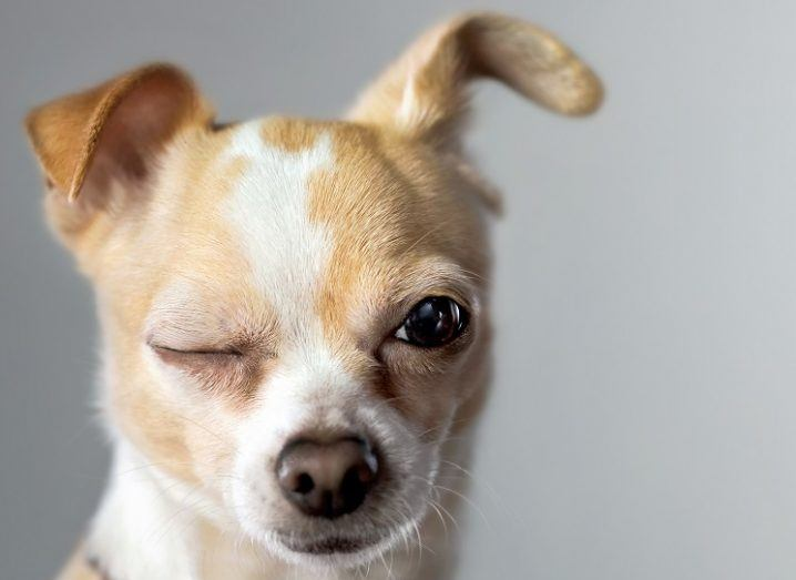 A small, brown and white chihuahua dog winks at the camera.