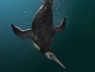 Ancient penguin is missing link between extinct giant and modern relatives