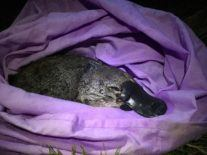 Climate crisis and land clearing pushes platypus to the brink of extinction