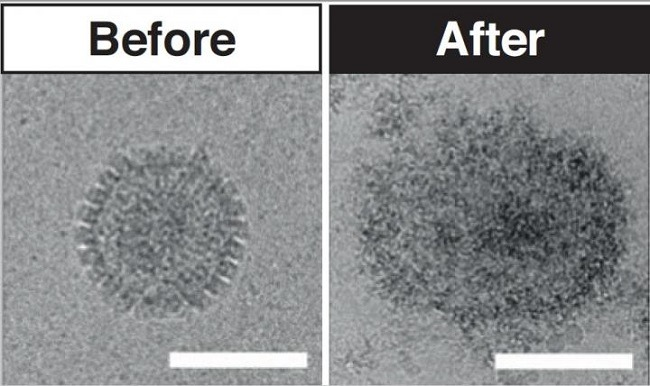 A before and after comparison image of a virus shrunken in size after exposure to the molecule.