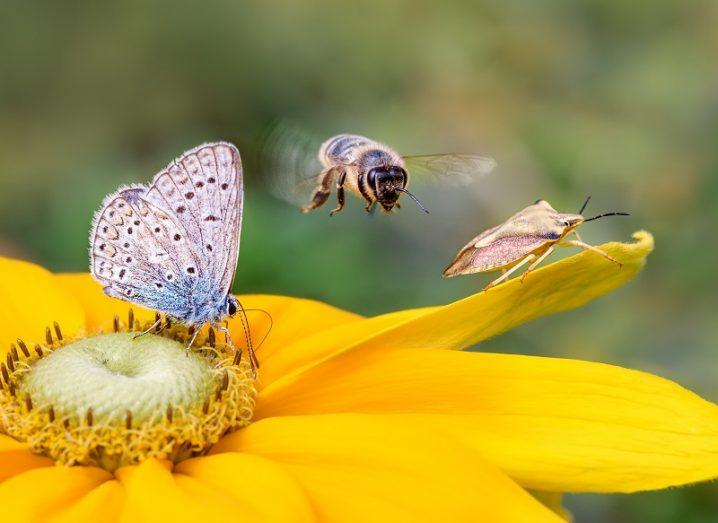A bee, butterfly and a shield bug sitting on a yellow flower.