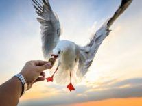 Seagulls prefer to snatch food from your hand than on the ground