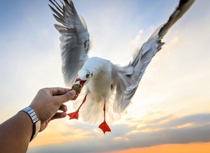 Seagull snatching food from a person's hand against a sunset background.