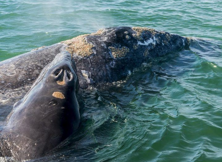 A female grey whale and her calf in the ocean.