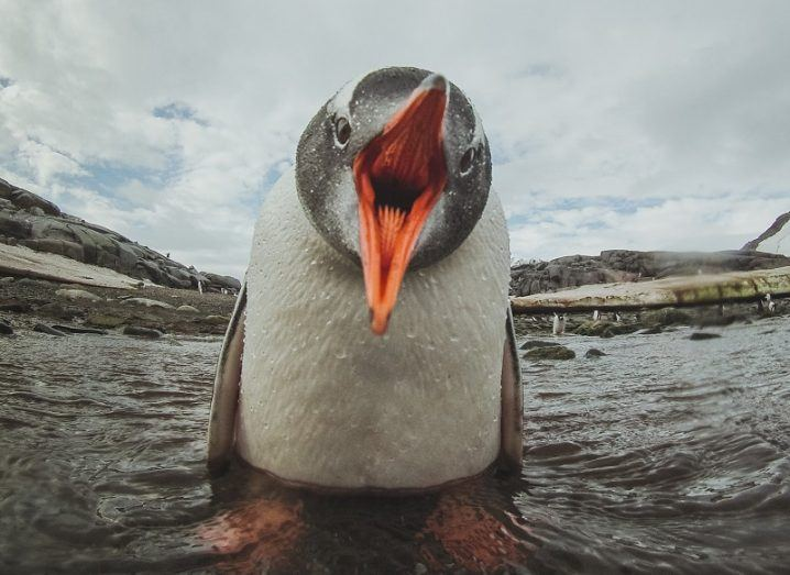 Close-up of a penguin with its mouth wide directly in the camera lens.