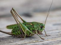 Cricket ear discovery could lead to powerful listening devices