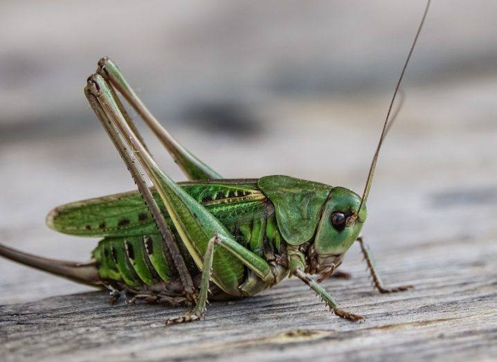 Large, green bush-cricket on a wooden surface.