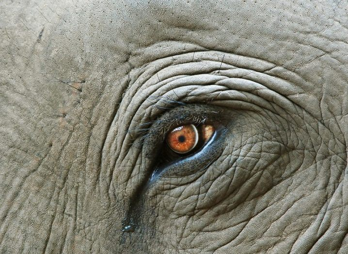 Close-up of an elephant with a tear in its eye.