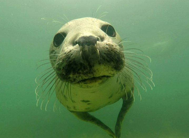 Grey seals observed communicating by clapping underwater