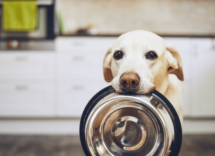 A blonde Labrador holding its empty bowl in its mouth.