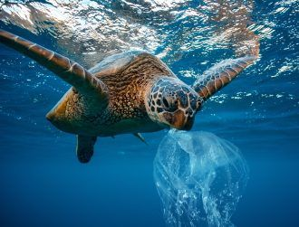 Turtles are munching down ocean plastic because it smells good
