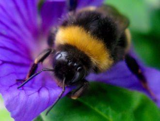 Nicotine-like pesticide is leaving many baby bees brain damaged