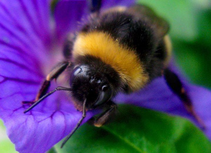 Close-up of a bumblebee on a purple flower with green leaves.