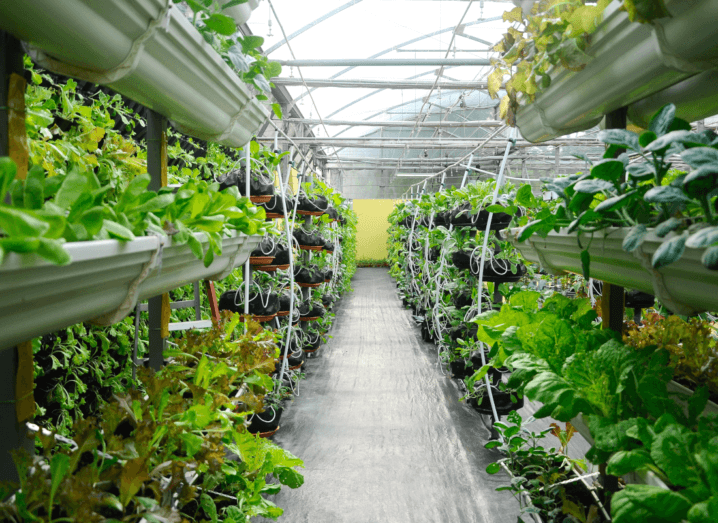 An indoor agriculture facility which shows rows of plants growing on vertical racks under a plastic roof.