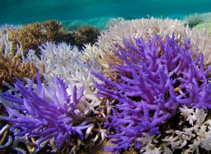 Coral coloured neon purple beside white bleached coral.