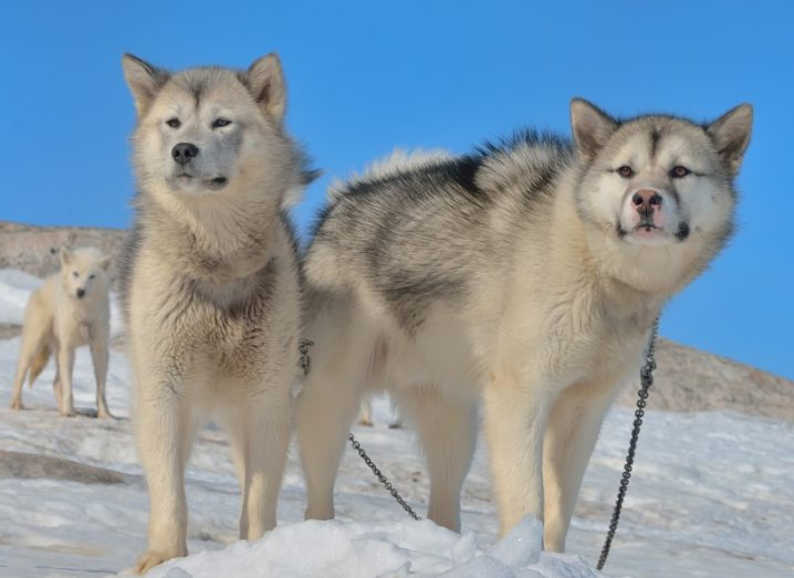 Pack of Greenland sled dogs on snow against a blue sky background.