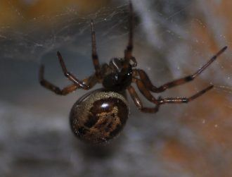 Noble false widow spider venom is more like a black widow's than we thought