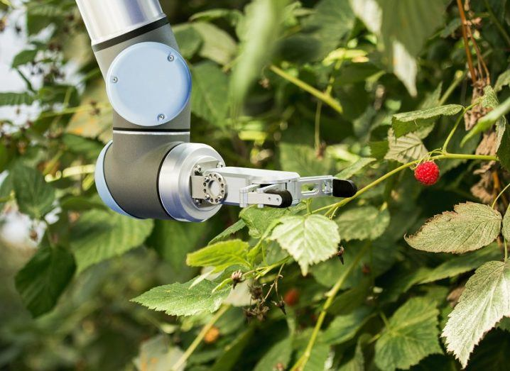 A robot arm picking raspberries from a farm crop.
