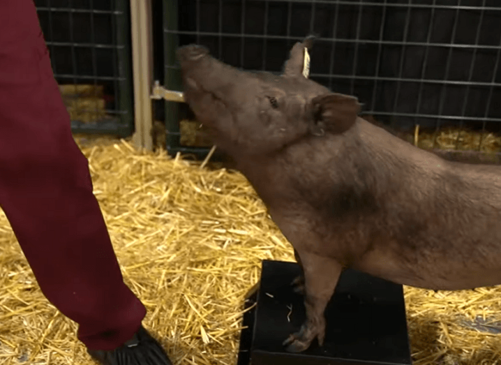 Dorothy the pig standing on a black stand during the Neuralink live demonstration.