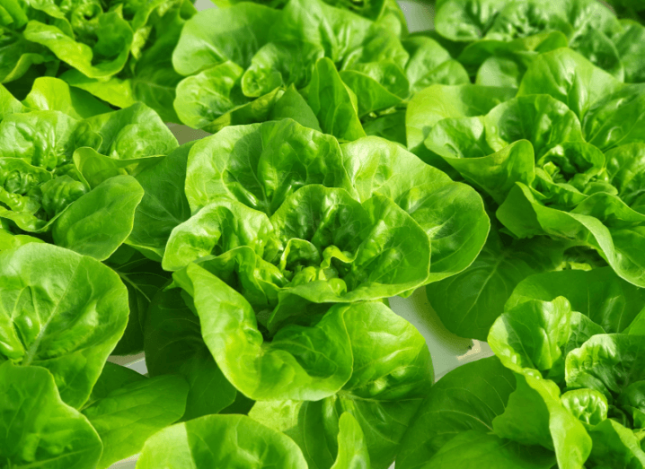 Nine heads of lettuce on a white surface.