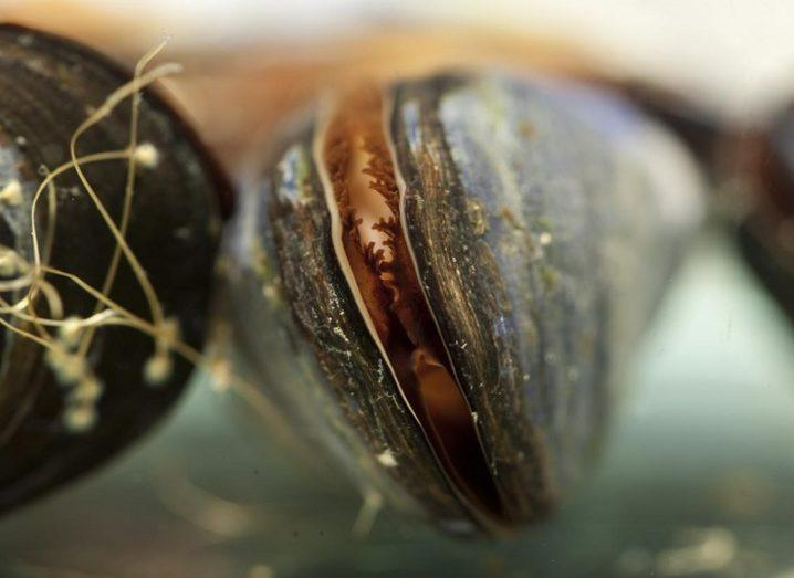 Close-up of mussels lined up in a row.