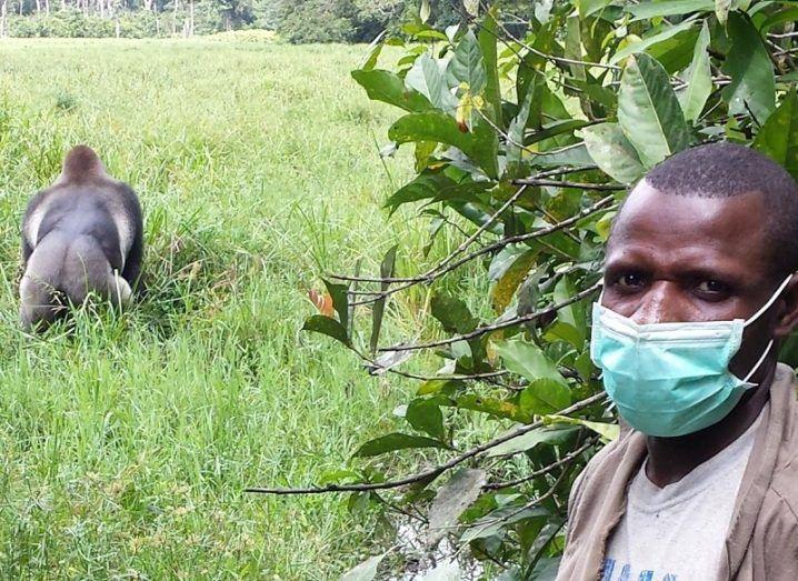 Man wearing a face mask near a wild gorilla in a field.