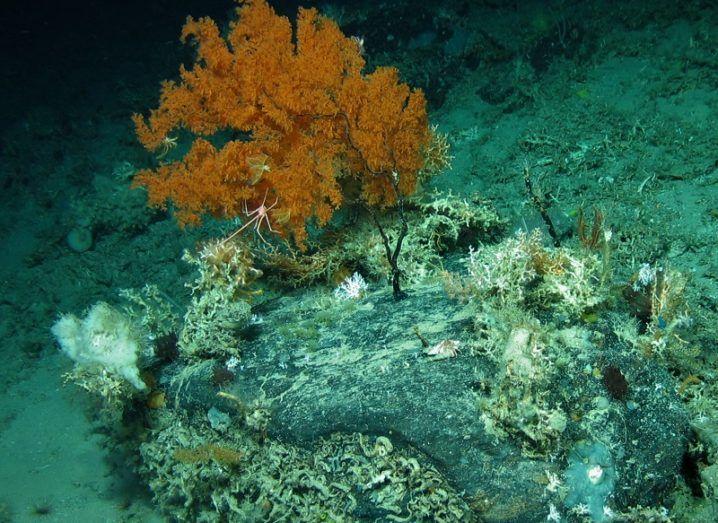 Brown-coloured coral in a deep-sea environment.