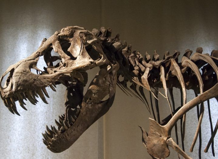Fossilised skeleton of a T-Rex.