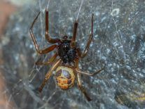 Bite from common Irish spider can transmit antibiotic-resistant bacteria