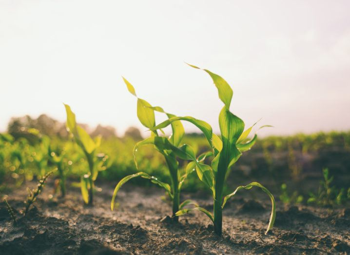 A close-up of a line of young, green crops in soil against a bright sky.