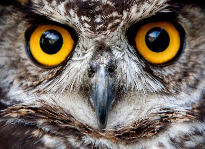 Close-up of an owl's bright yellow eyes.