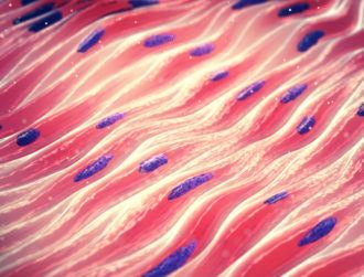 Bioengineered muscle fibre could stimulate tissue regeneration
