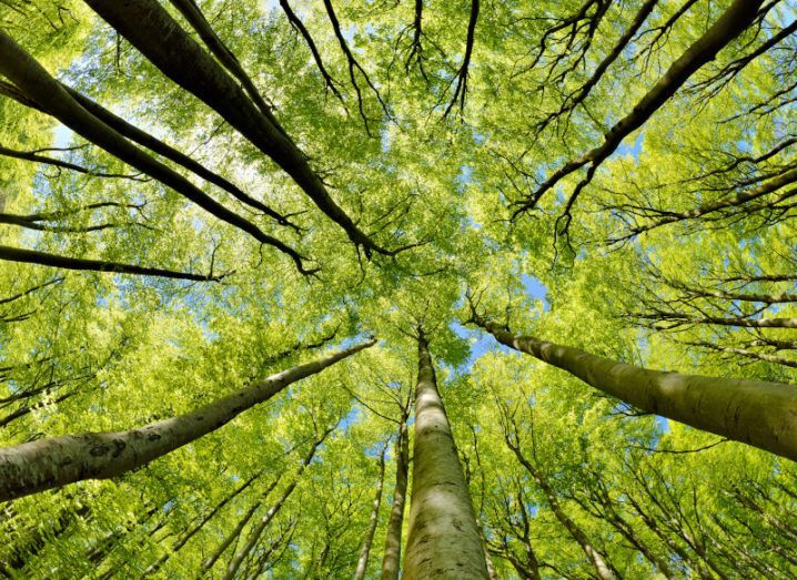An upward look at bright green trees in a forest.